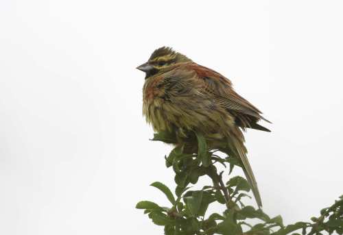 Male Cirl Bunting - Exminster