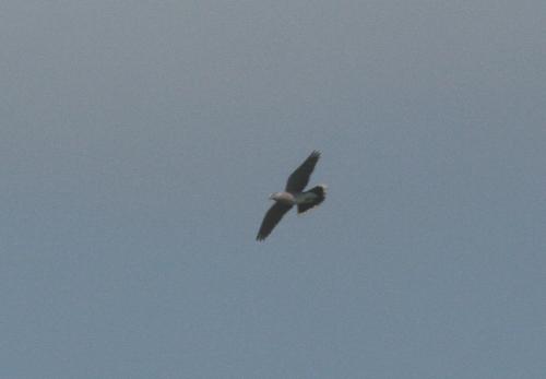The increasingly scarceTurtle Dove