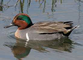 Green-winged-Teal