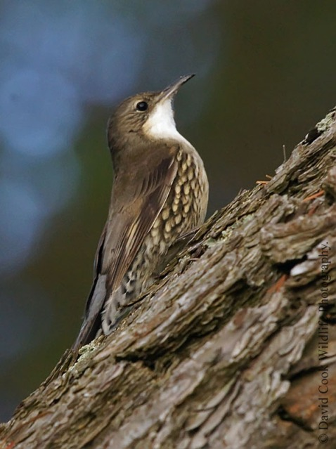 White-throated Treecreeper (Cormobates leucophaea)