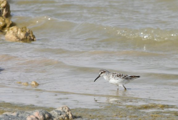 Broad-billed Sand