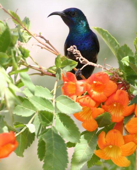 Palenstine Sunbird 1
