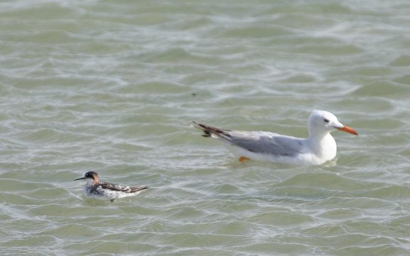 Red-n-Phalarope