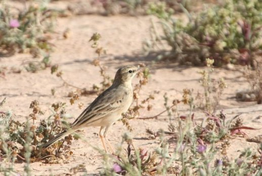Tanwy Pipit
