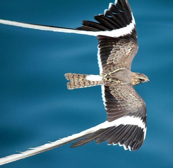 Pennat-winged Nightjar (1)