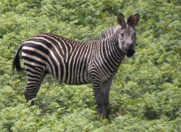 IMG_4908 Zebra