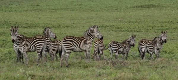 IMG_4912 Zebras