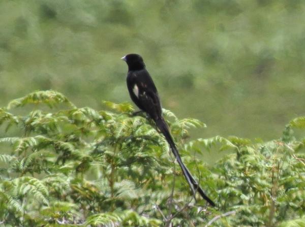 IMG_4914 Montane Widowbird