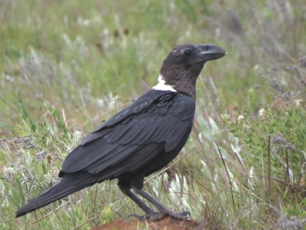 IMG_4933 White-naped Raven