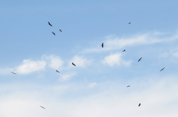 IMG_5149 Abdim's Stork