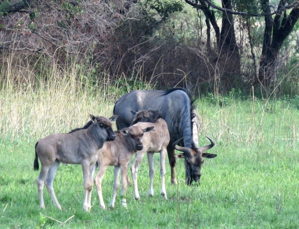 IMG_5150 Wildebeeste