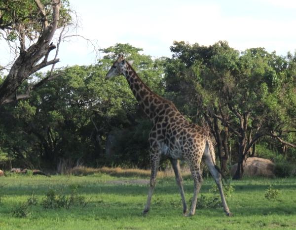 IMG_5157 Giraffe
