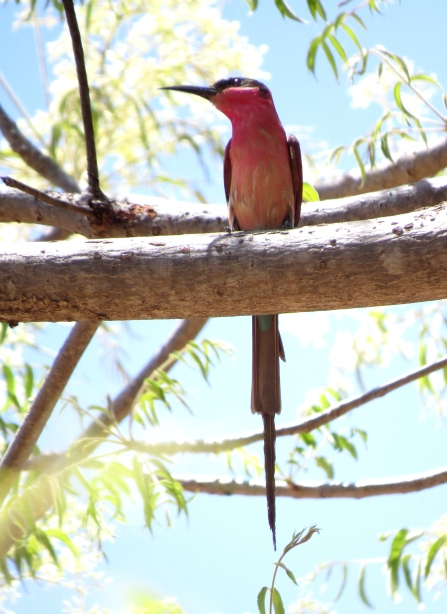 IMG_5191 Southern Carmine Bee-eater