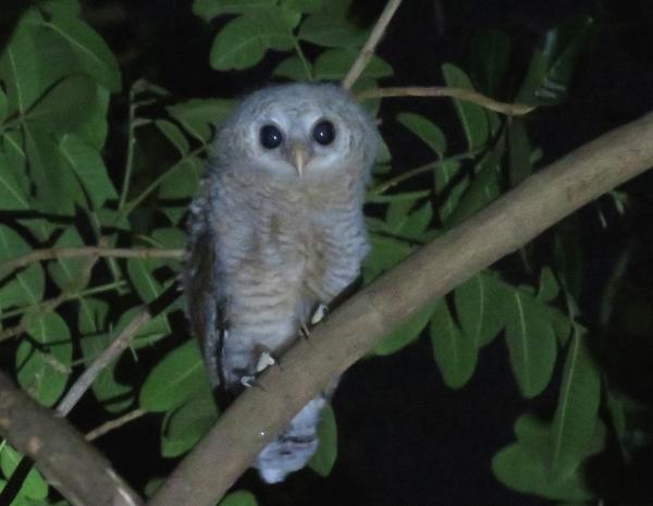IMG_5220 juv Wood Owl