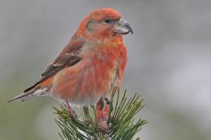 ParrotCrossbill_from web