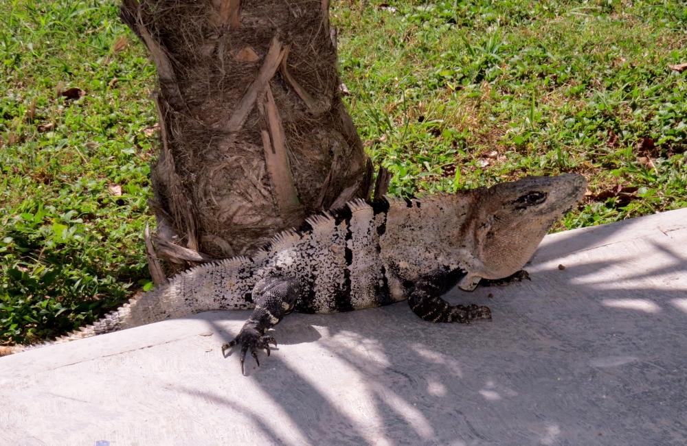IMG_0055 iguana