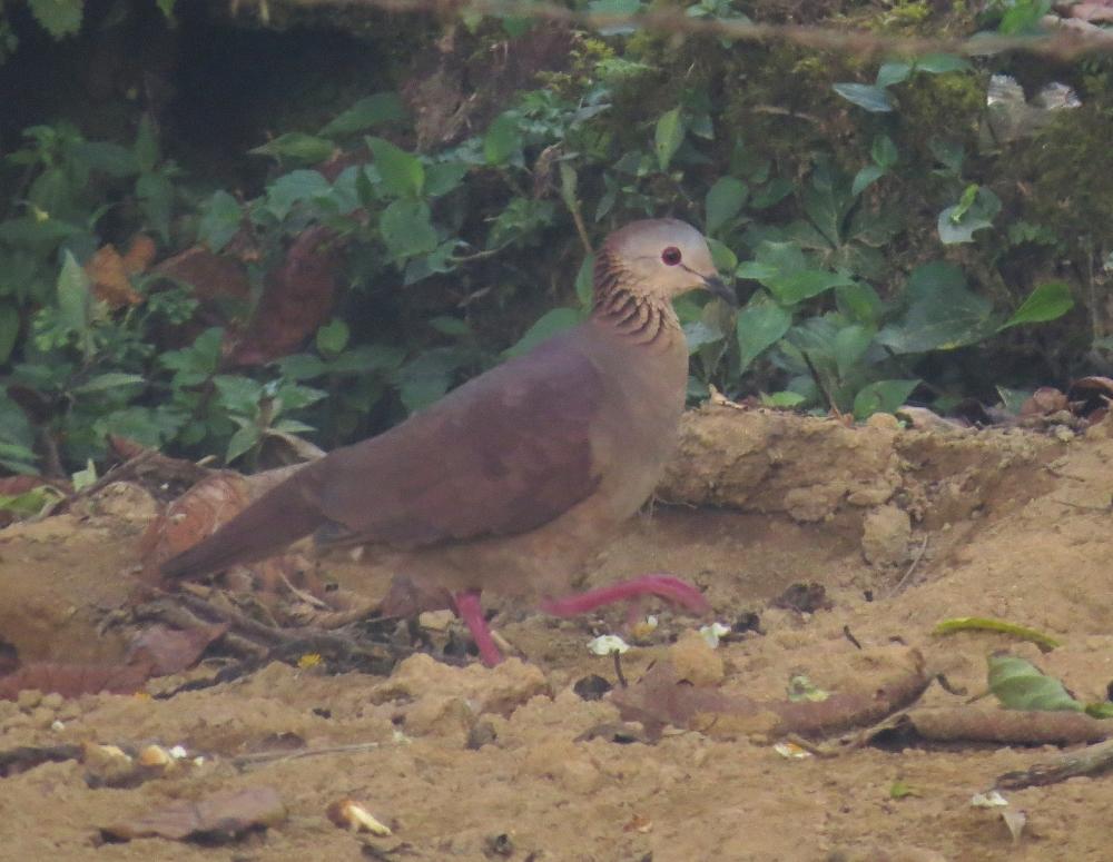 IMG_0142 WF Quail-dove