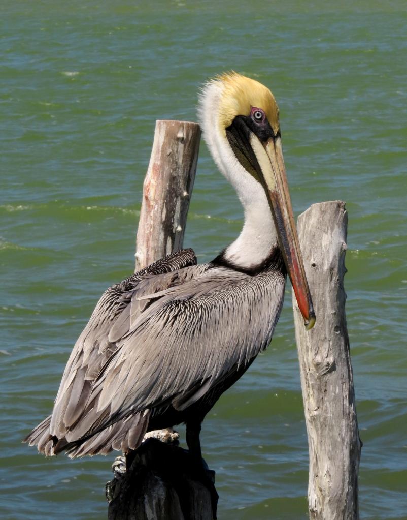 IMG_0237 Brown Pelican