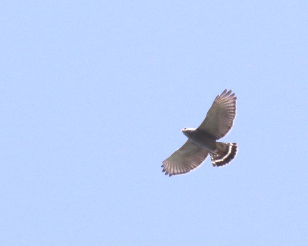 IMG_0299 Grey Hawk
