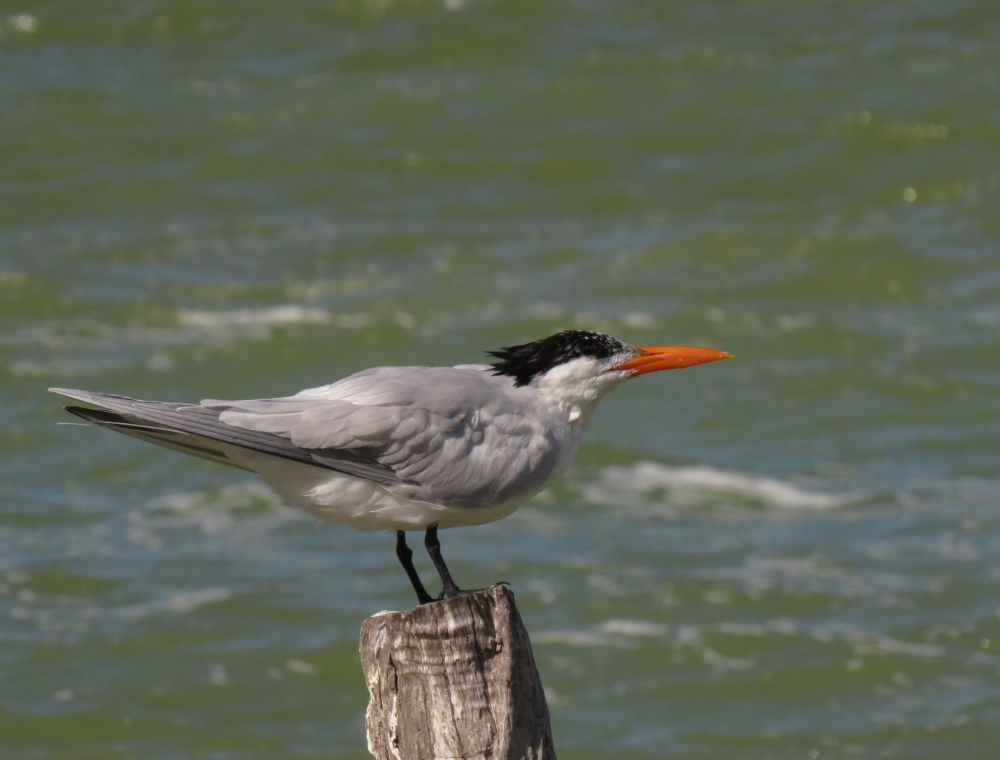IMG_0406 Royal Tern