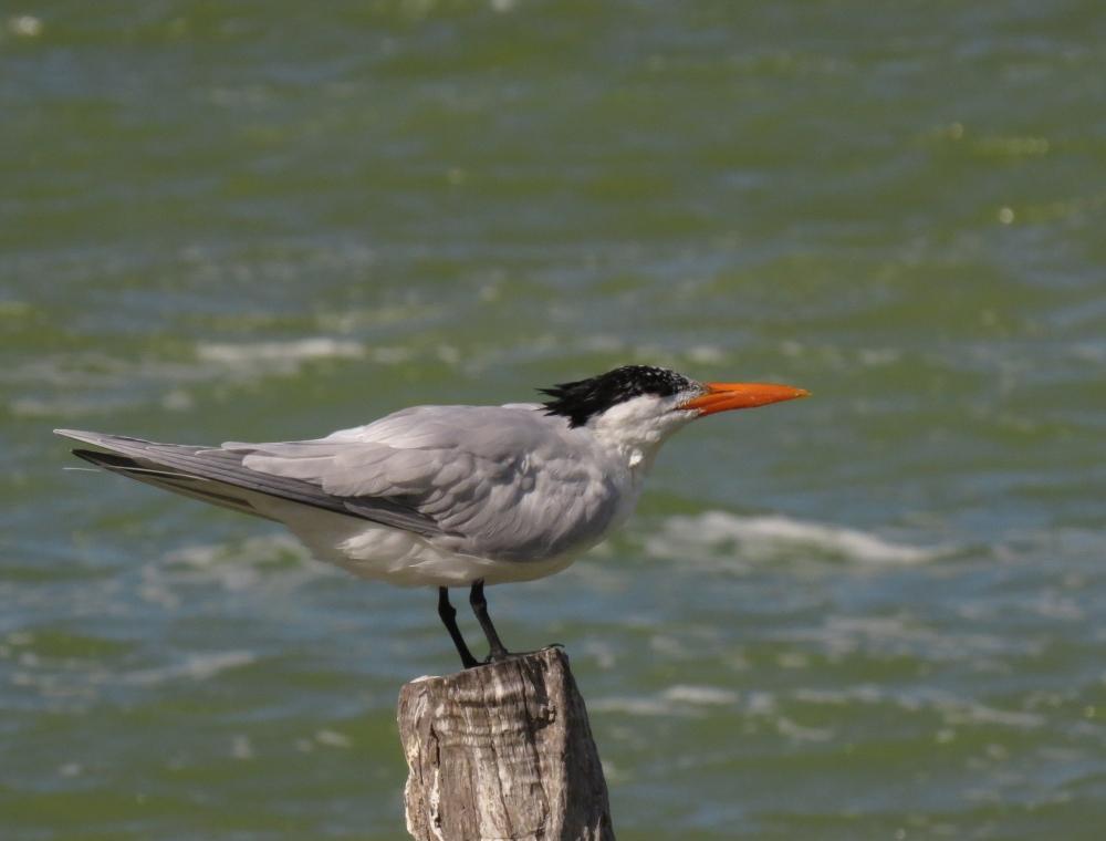 IMG_0406 Royal Tern