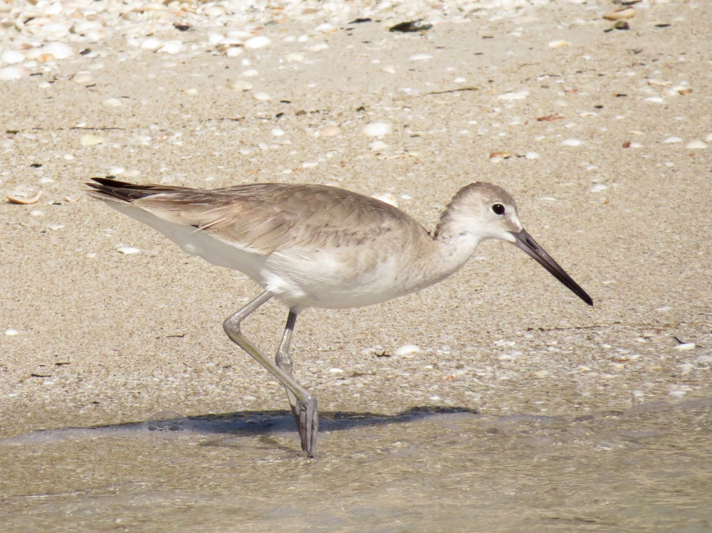 IMG_0423 Willet