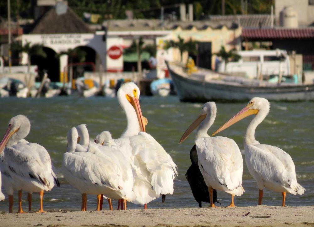IMG_0496 White Pelican