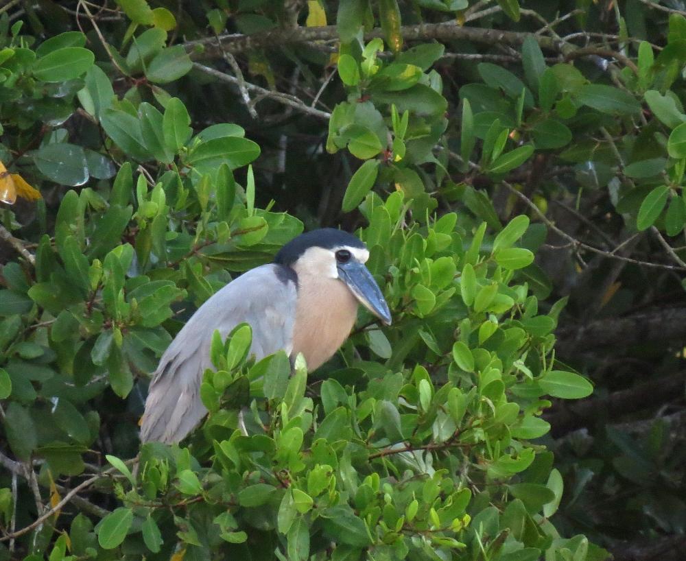 IMG_0571  BB Heron