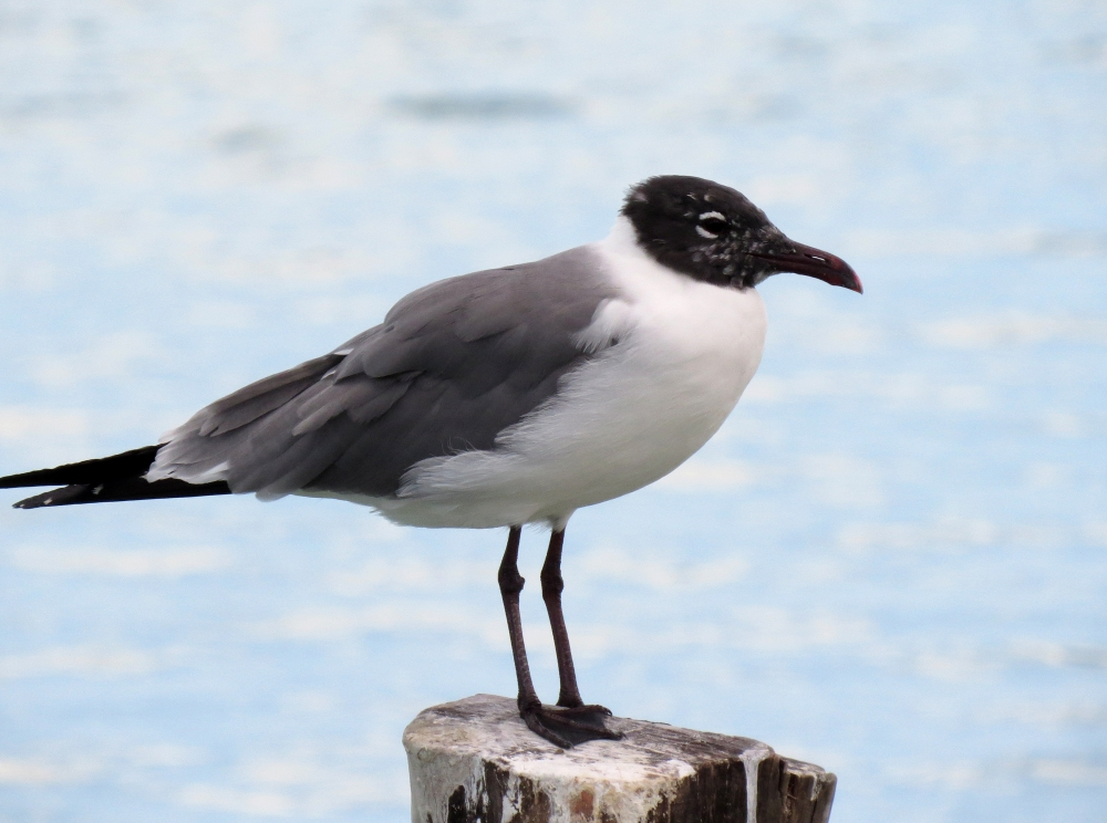 IMG_0677 Laughing Gull