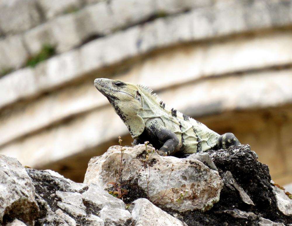 IMG_0854 Iguana