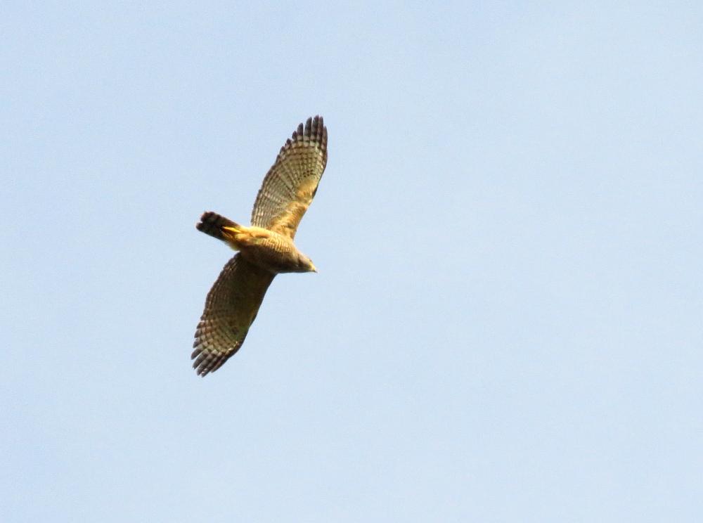 IMG_0933 Roadside Hawk