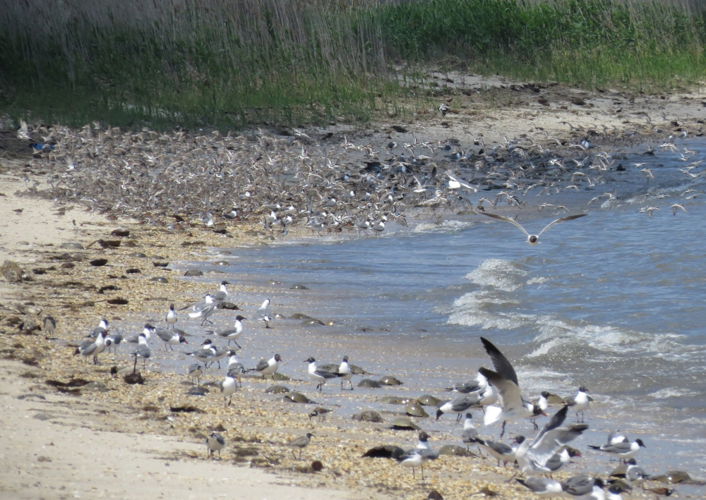 IMG_0055 Shorebirds and gulls