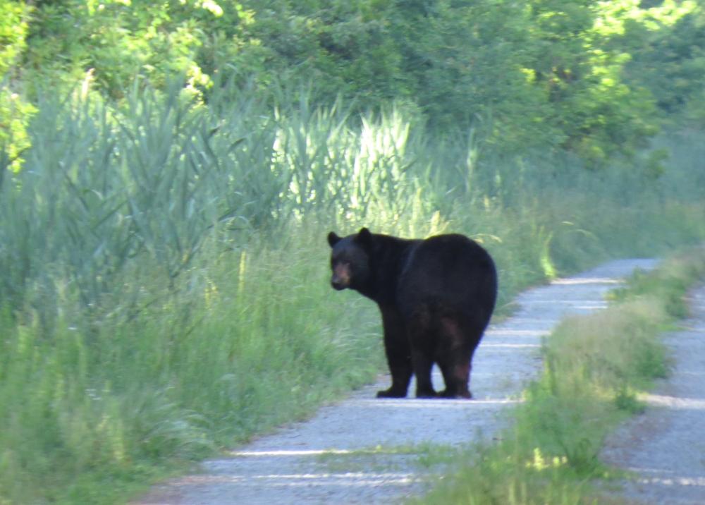 IMG_0210 Black Bear