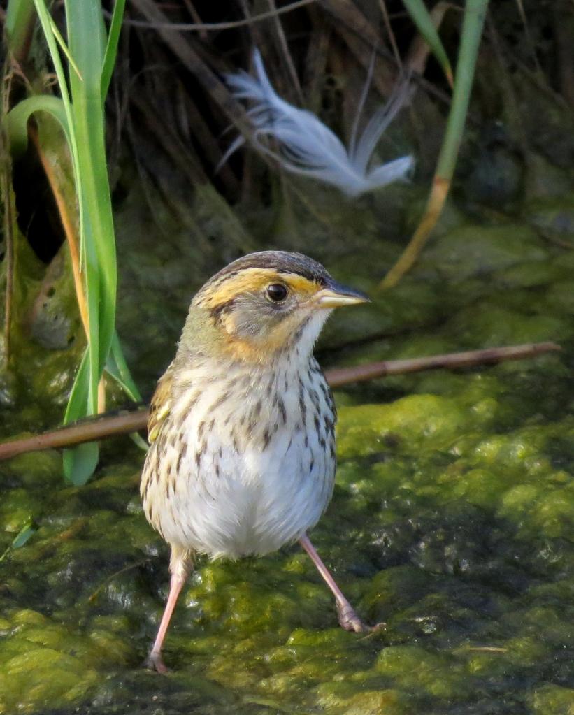 IMG_0493 Saltmarsh Sparrow
