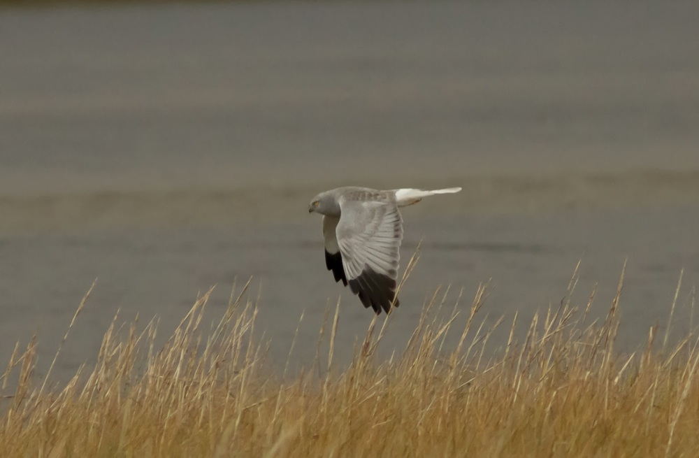 hen harrier-pe