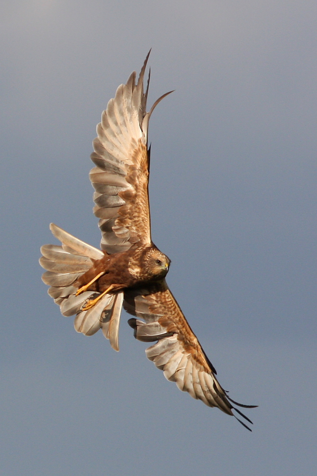 Marsh Harrier PM