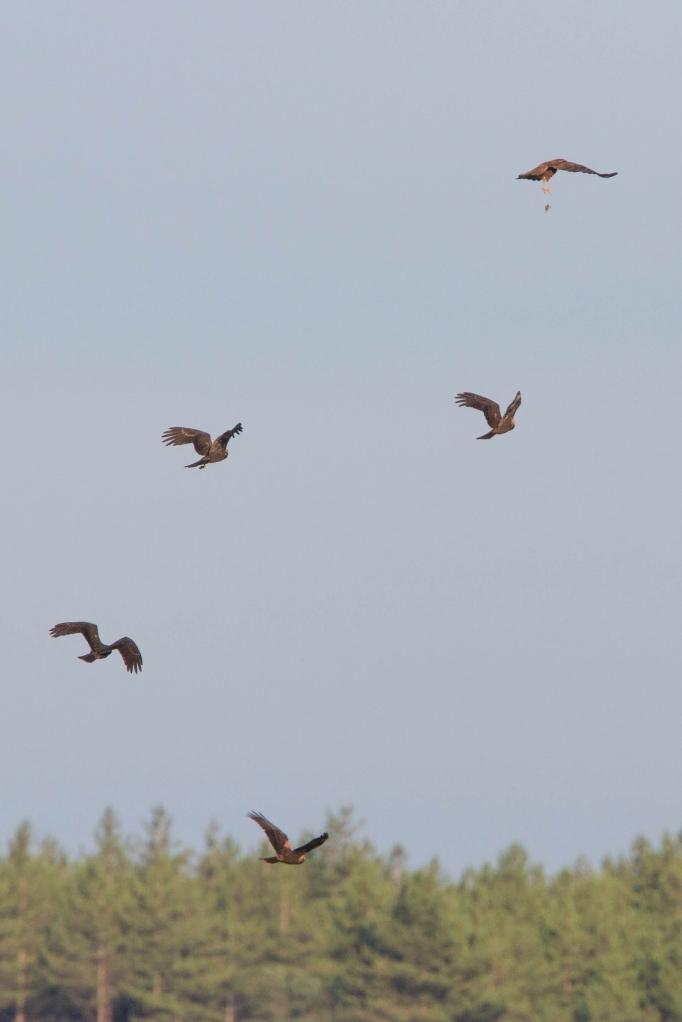Swineham+Marsh+Harriers Paul Thompson