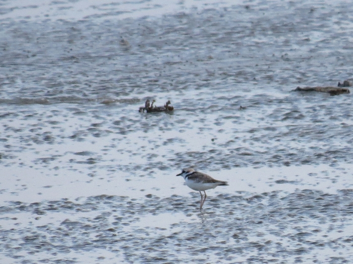 IMG_0653 Malaysian Plover