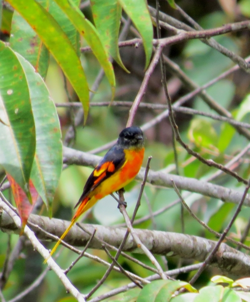 IMG_0665 Grey-chinned Minivet