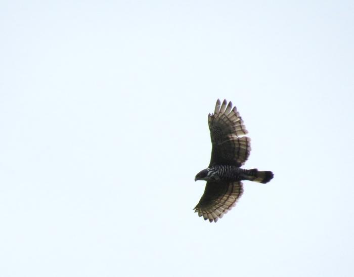 IMG_0674 Blyth's Hawk-eagle