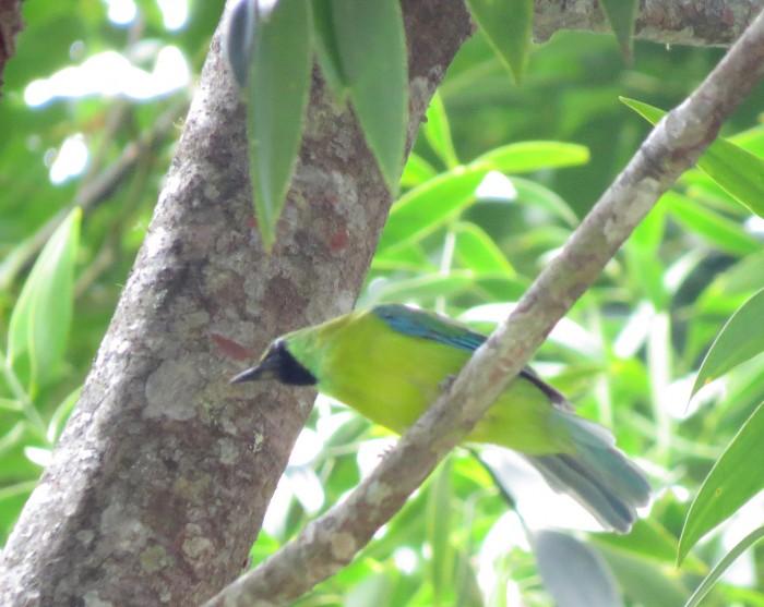 IMG_0675 Bornean Leafbird