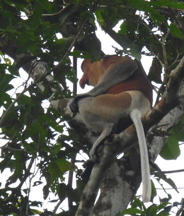 P1110391 Proboscis Monkey male