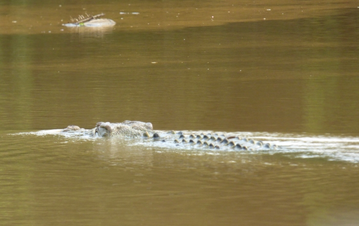 P1110458 Estuarine Croc