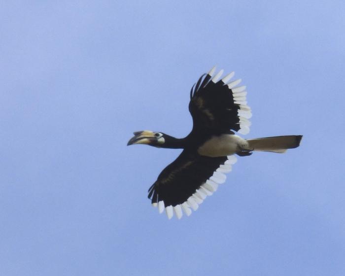 P1110567 Oriental Pied Hornbill