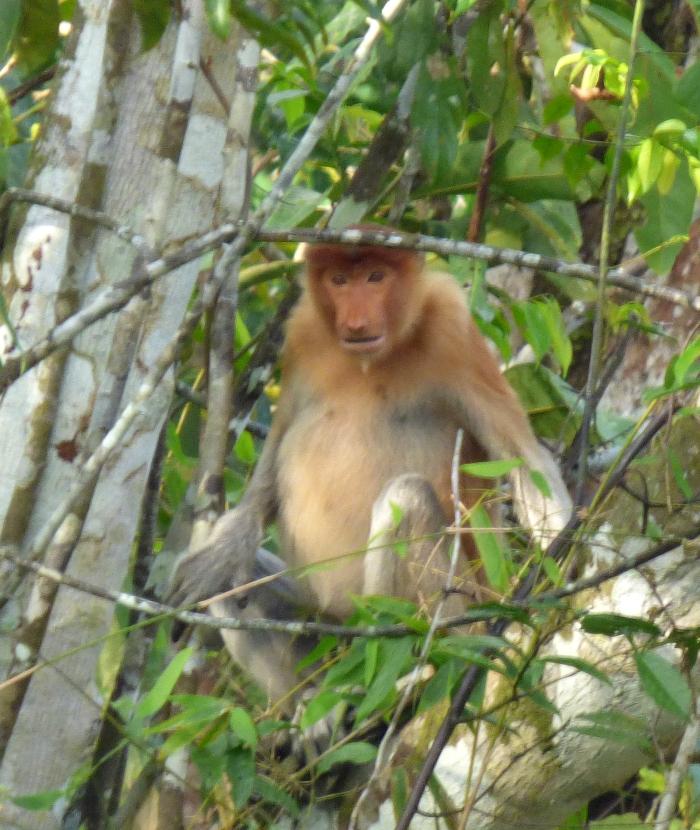 P1110598 Proboscis Monkey