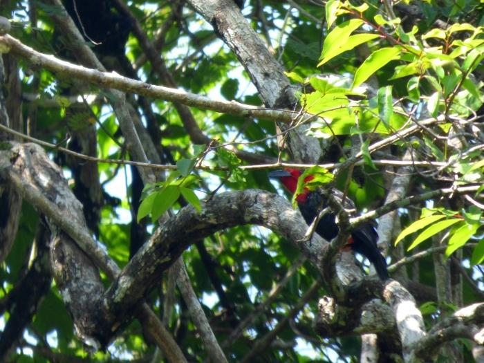 P1110693 Borneo Bristlehead 2