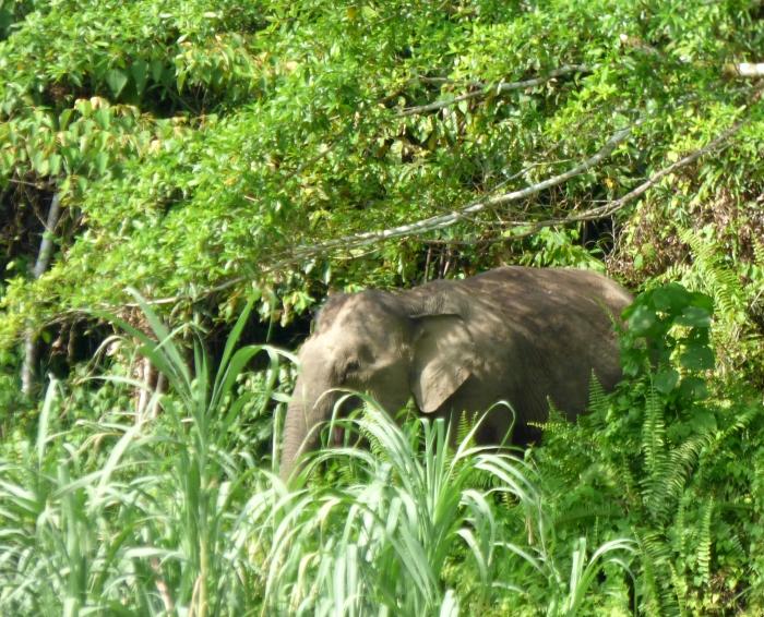 P1110732 Bornen Pygmy Elephant