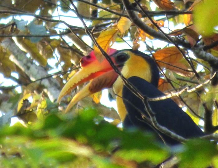 P1110754 Wrinkled Hornbill