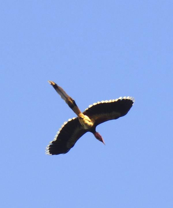 P1110881 Helmeted Hornbill