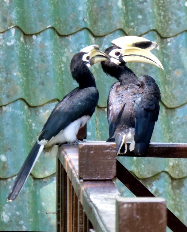 P1120019 Oriental Pied Hornbill
